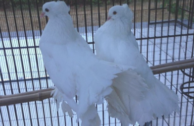 Two White Doves
