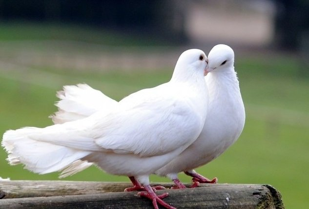 Image result for photo of white doves